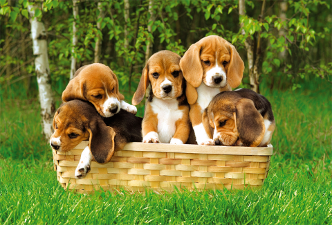 Beagle Puppies, 60 brikker (2)